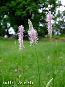 Exkursion Essbare Wildpflanzen – die wichtigsten Arten im Sommer @ München